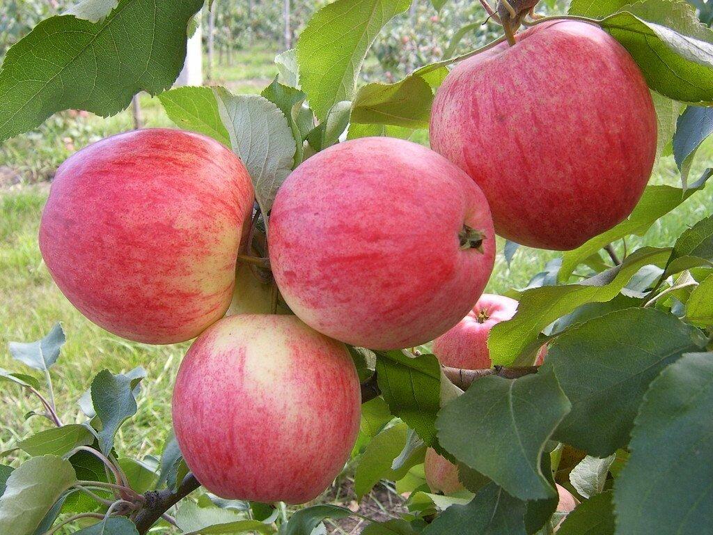 виды яблонь