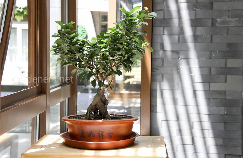 Дерево бонсай — история возникновения и классификация