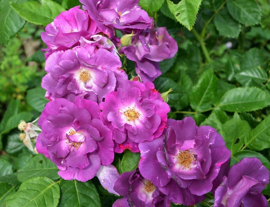 Роза рапсодия ин блю: фото и описание сорта, отзывы
