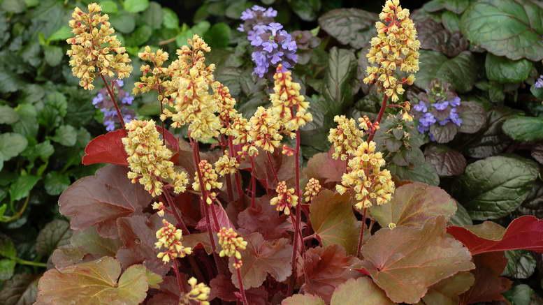 цветы гейхера фото