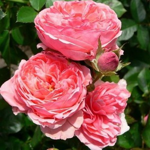 Стихи розы