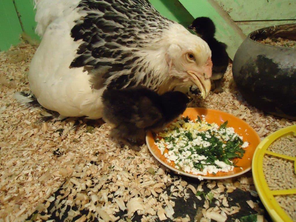 чем кормить куриц несушек