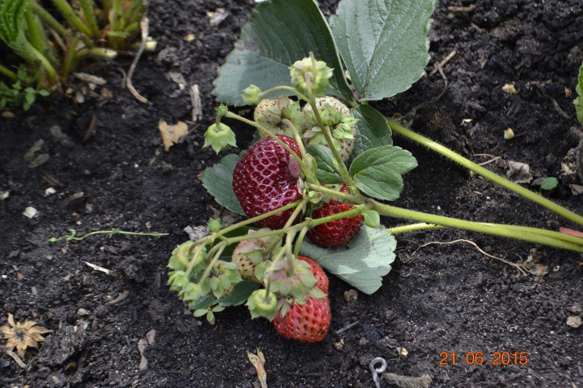 Кто прав в споре о клубнике – это ягода или орех?