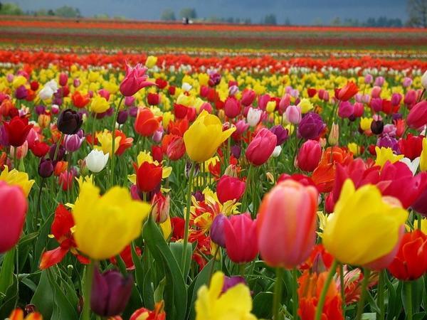 с чем сажать тюльпаны на клумбе