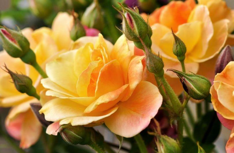 как ухаживать за розами на зиму