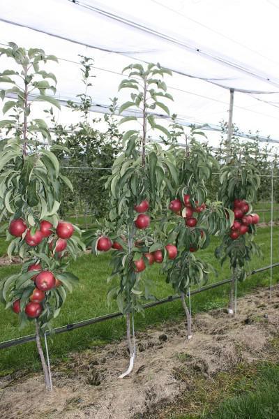 На каком расстоянии сажать друг от друга груши. подготовка ям для посадки деревьев яблони и груши на участке (с фото) | дачная жизнь