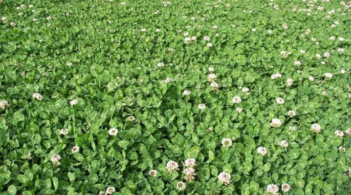 Клевер для газона: преимущества и недостатки