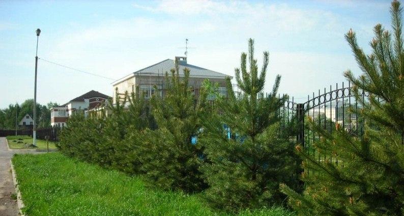 Хвойные деревья: сроки и правила посадки осенью, весной, подготовка участка, особенности подкормки, обрезки, обработки, советы