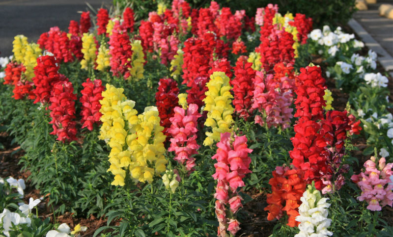 клубные цветы