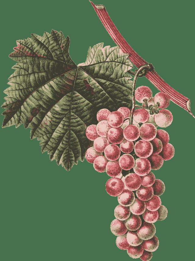 Виноград красохиной: краткое описание сортов, основные характеристики