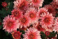 хризантемы корейские многолетние зимостойкие фото