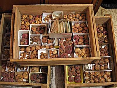 уборка гладиолусов осенью и хранение на урале