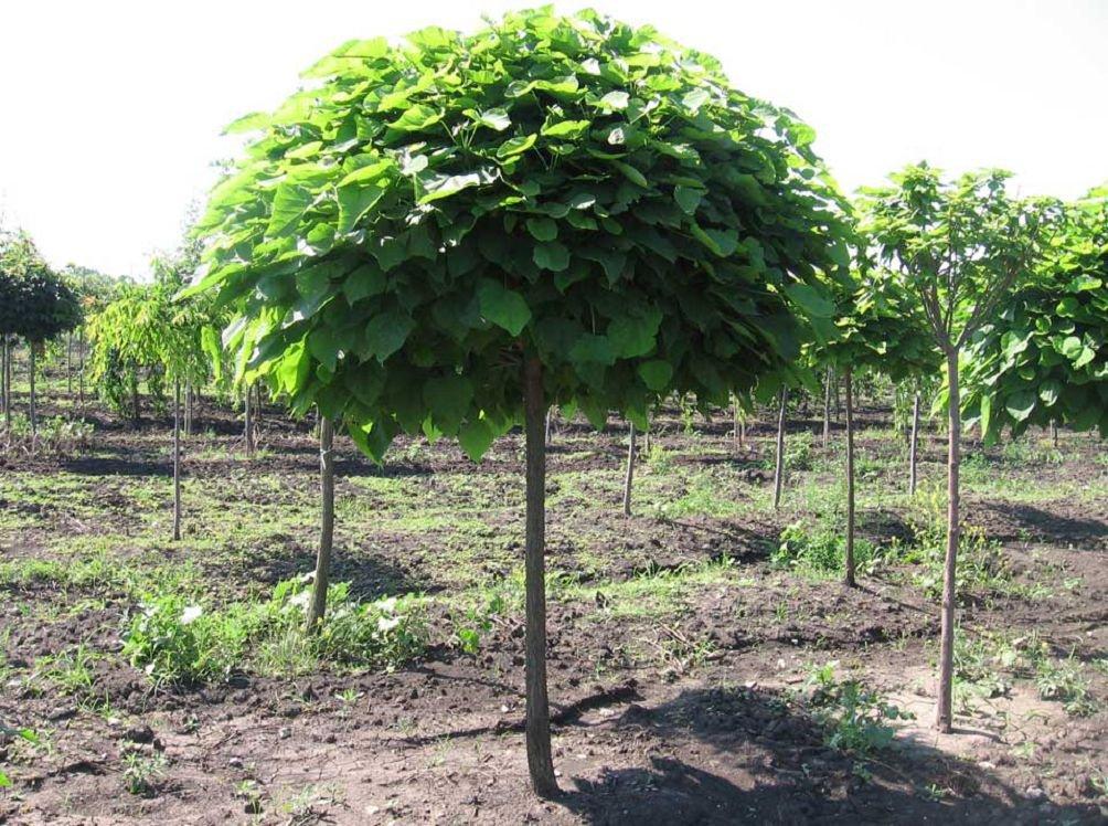 Катальпа – как размножать семенами и черенками, возможные болезни и проблемы