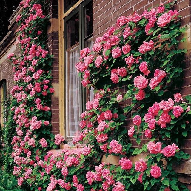 Когда сажать плетистую розу в открытый грунт? опора для плетистой розы. где лучше посадить плетистую розу