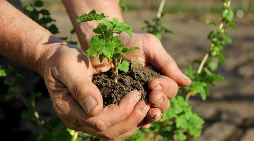 Размножение смородины черенками весной и осенью: подготовка саженцев, уход