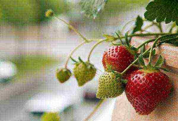 Бизнес на клубнике – бизнес-план выращивания клубники дома