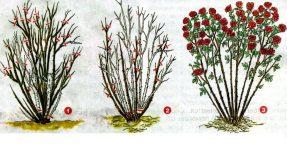 когда нужно обрезать розы на зиму