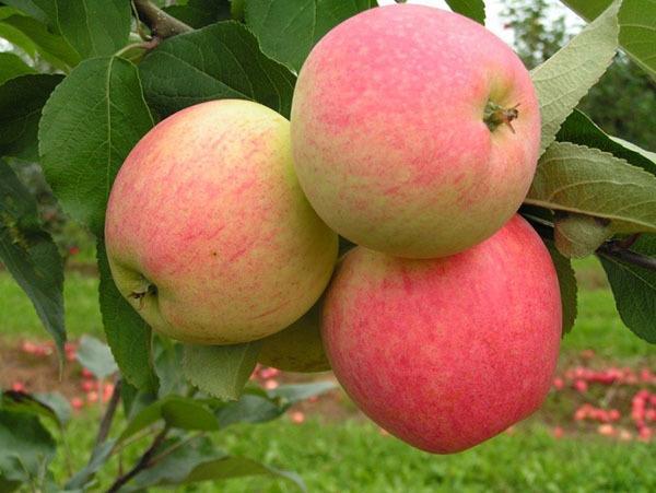 зимние сорта яблонь для среднего поволжья