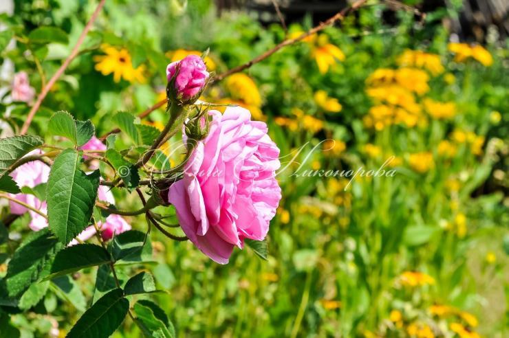 как зимуют розы в саду