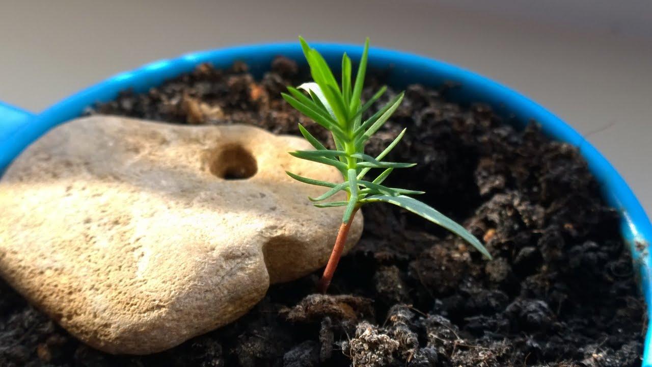 Бонсай из сосны (32 фото): как сделать его своими руками из японской белой, обыкновенной и горной сосны? как вырастить на даче? как обрезать саженец?