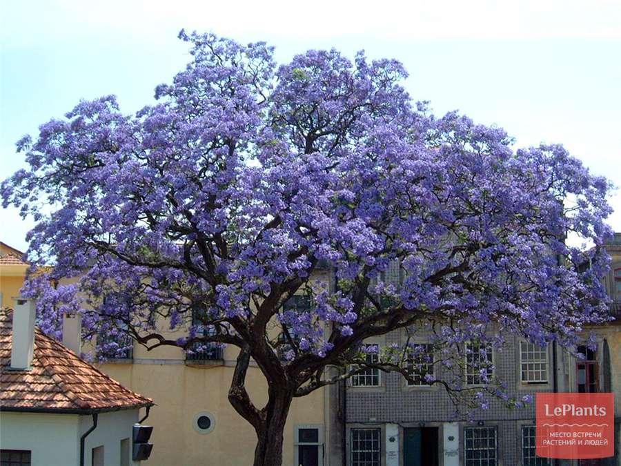 павлония дерево фото