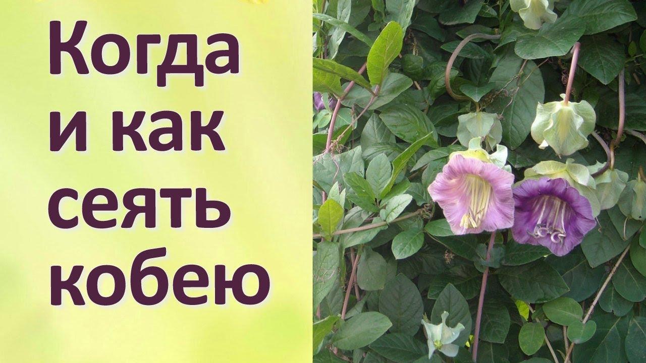 ᐉ цветок кобея: выращивание из семян, фото, посадка и уход в открытом грунте - roza-zanoza.ru