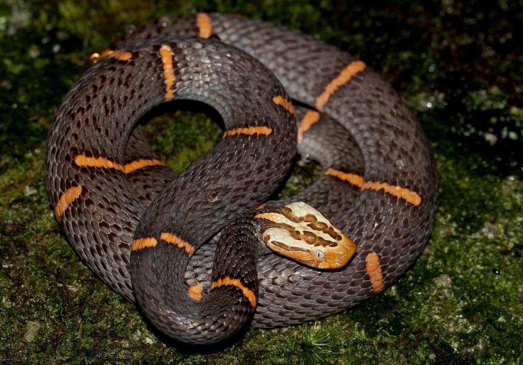Змеи гадюка