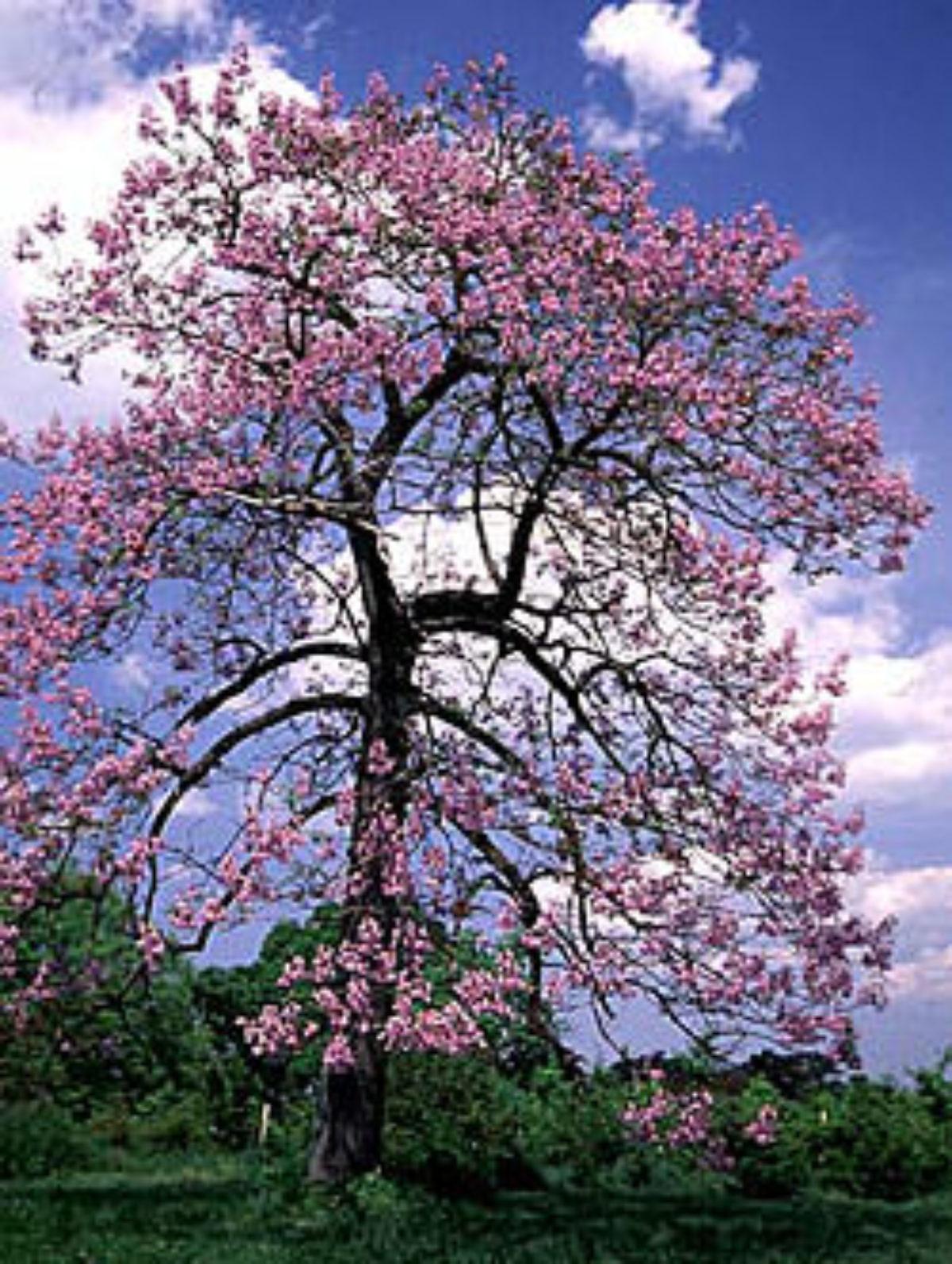 дерево павлония фото и описание