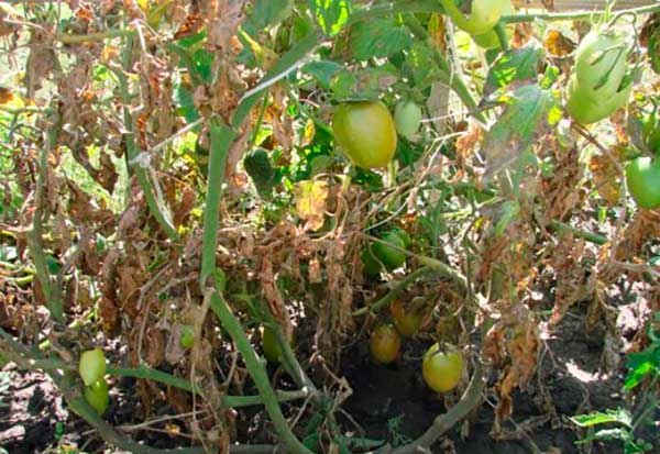 фитофтора на томатах методы борьбы