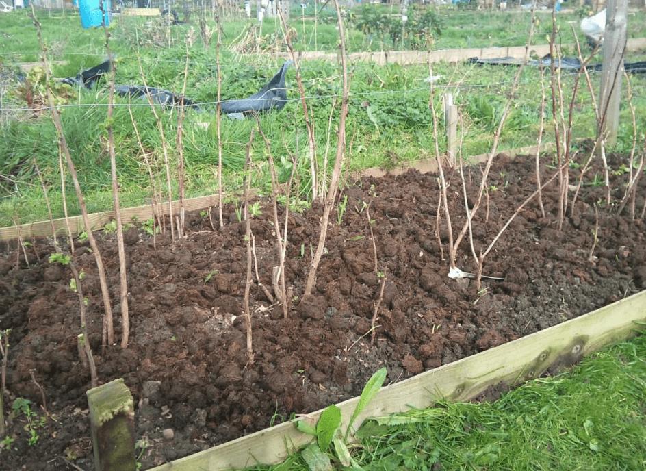 где лучше посадить малину