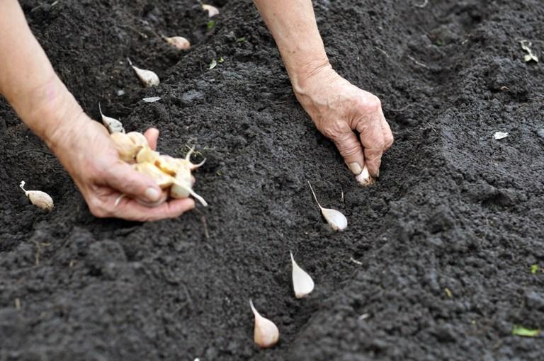 как посадить чеснок под зиму
