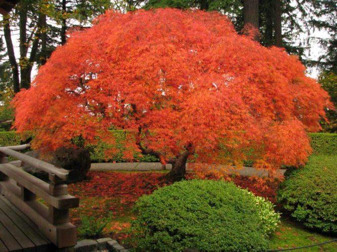самое быстрорастущее дерево в мире