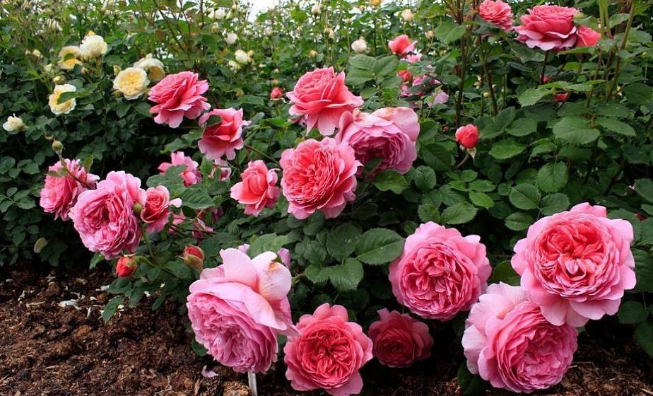 как подготовить розы к зимовке в подмосковье
