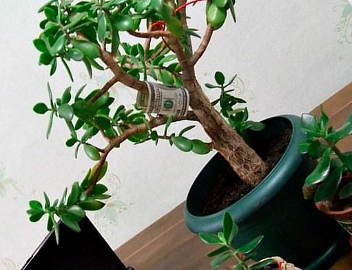 Виды крассулы (61 фото): популярные разновидности толстянки или денежного дерева, яйцевидная и плауновидная, перфората и древовидная