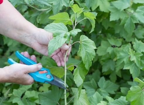 Размножение смородины черной, в том числе черенками, когда и как это лучше делать
