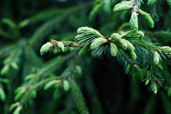 Ель «изели фастигиата»: описание, посадка, уход и размножение
