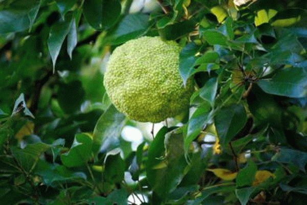 Адамово яблоко (маклюра) в лечении суставов: применение и рецепт приготовления настойки
