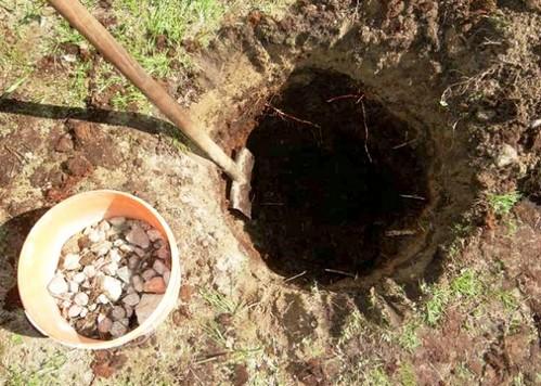 Как правильно посадить яблоню осенью