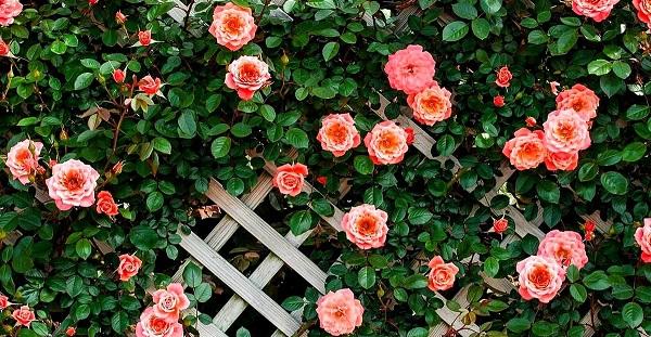 Непростая задача: черенкование роз осенью