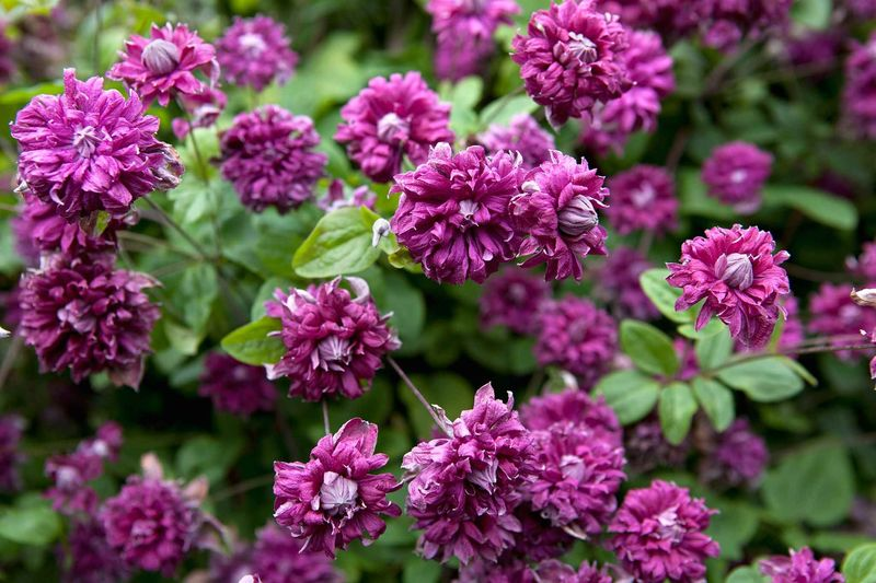 пурпуреа плена элеганс