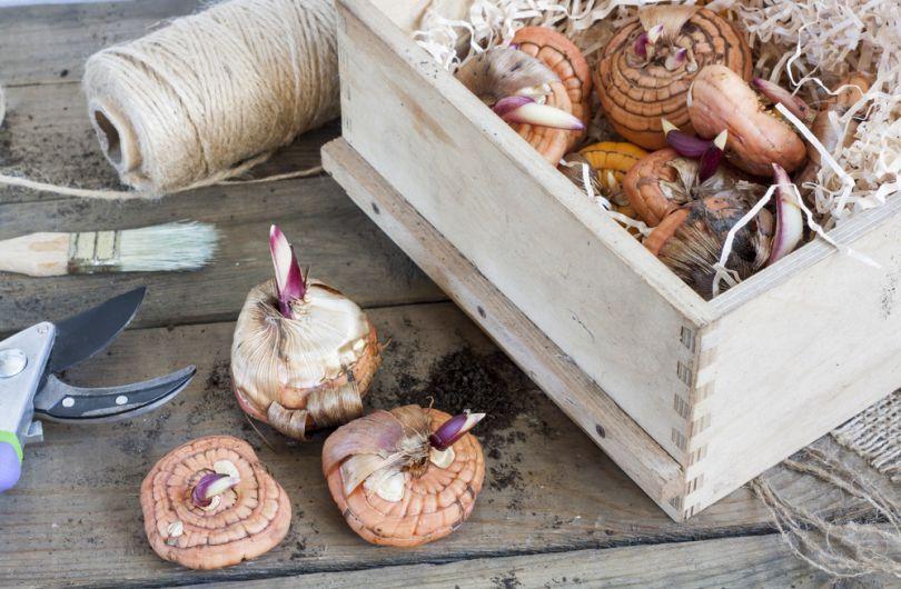как правильно хранить луковицы гладиолусов