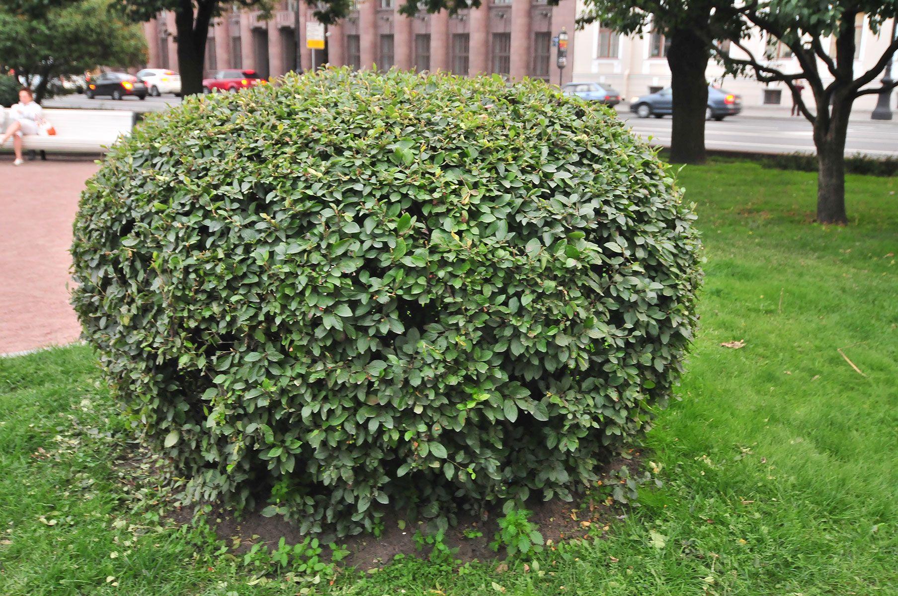 Кизильник черноплодный — полезные свойства, описание