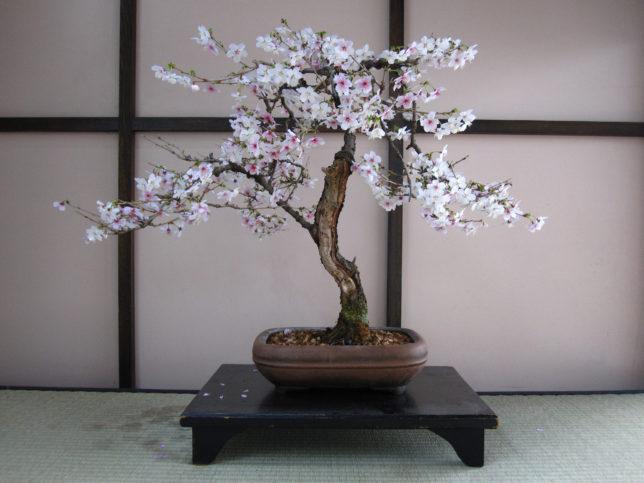 Вишня декоративная сакура: выращивание. сорта
