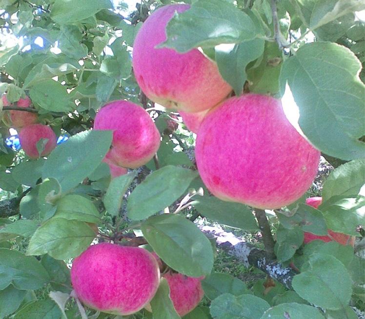 Описание сорта яблони эльстар: фото яблок, важные характеристики, урожайность с дерева