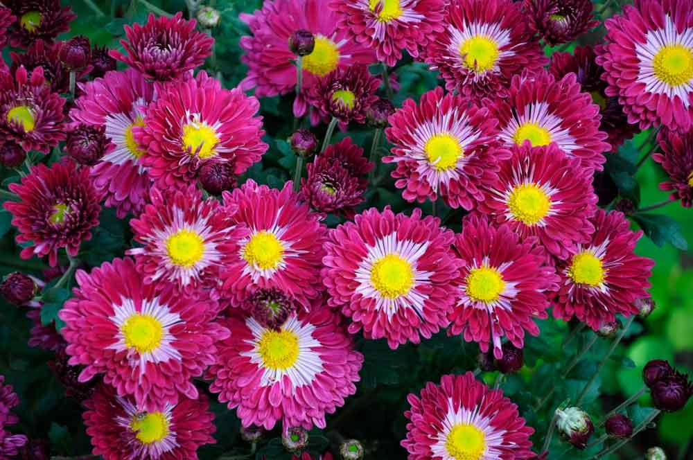 Корейская хризантема: описание, особенности выращивания цветов и ухода за ними