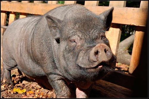 Вьетнамские вислобрюхие свиньи (56 фото): содержание и разведение поросят вьетнамской породы в домашних условиях, особенности питания, отзывы владельцев