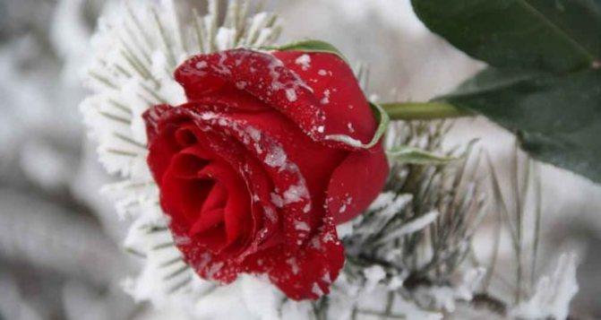 Чайно-гибридные розы: что это? посадка, уход и выращивание чайно-гибридных роз, обрезка и укрытие на зиму