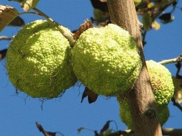 Рецепты настоек адамова яблока для больных суставов