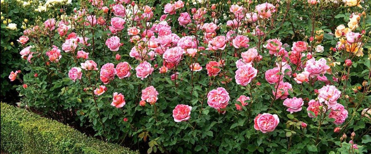 Обрезка роз осенью: плетистые, флорибунда, чайно-гибридные, парковые и др.