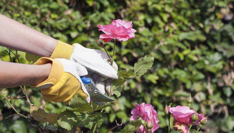 Как обрезать комнатную розу в горшке: нужна ли процедура после цветения и зимой, когда это правильно делать, чем обработать в домашних условиях, как укрыть растение? selo.guru — интернет портал о сельском хозяйстве